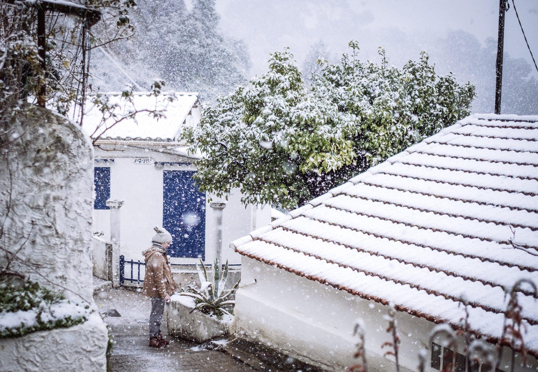 pin. de galle sous la neige - 3